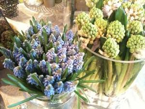 Muscari og hyacinther