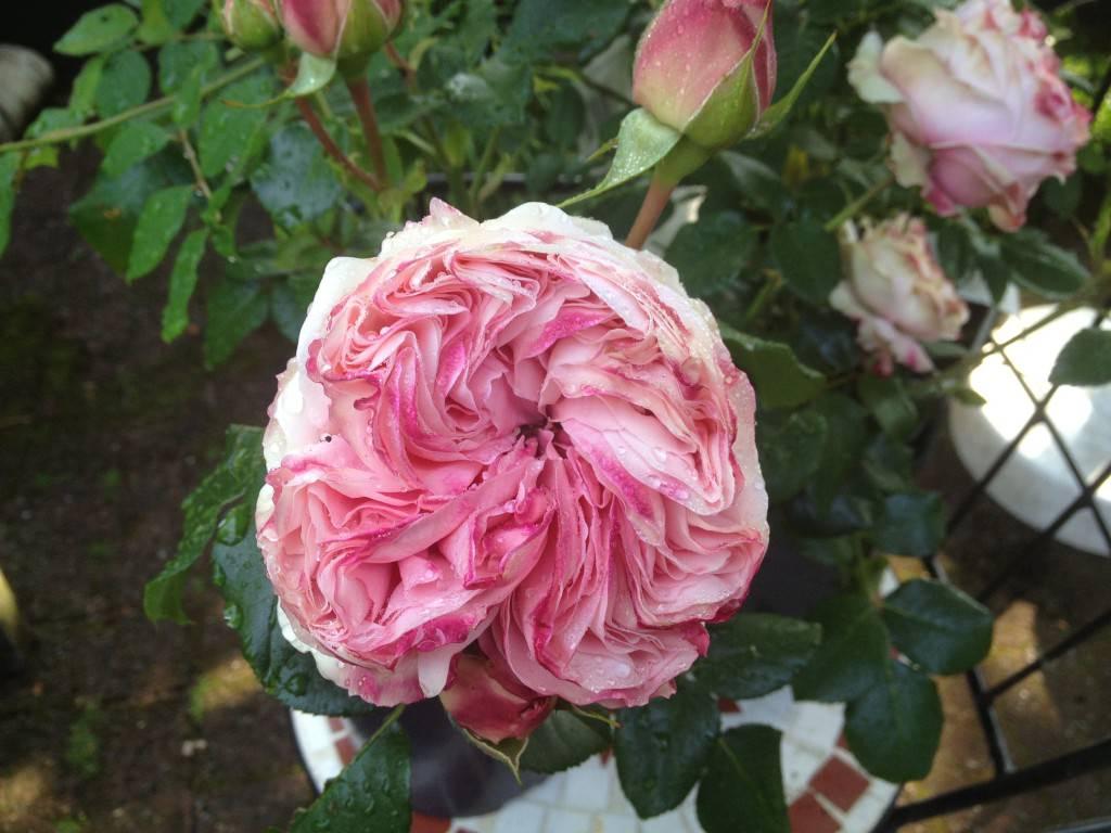 Dobbelt lyserød rose Giardina